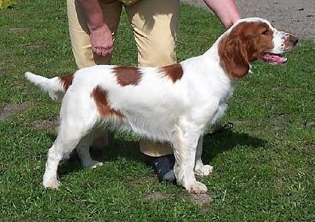 springer spaniel som första hund